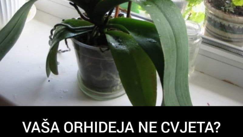 Pogledajte zašto vaše orhideje ne cvjetaju